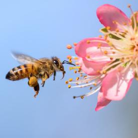 Großaufnahme einer Biene im Anflug auf eine rosa Blüte