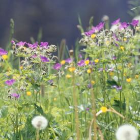 Streuobst Blumenwiese