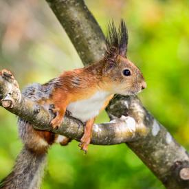 Eichhörnchen sitzt auf einem Ast