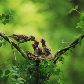 Vogel füttert Nachwuchs im Nest.
